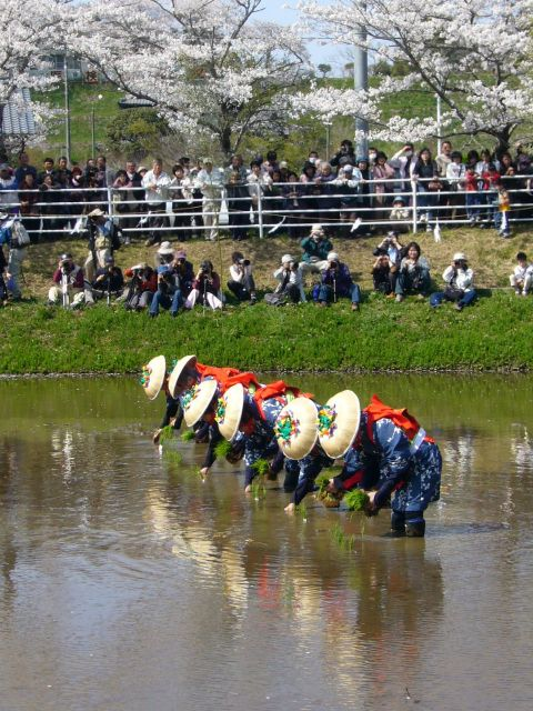 Rice-transplanting_Festival_in_Katori-jingu_1,katori-city,japan香取神宮お田植え祭り_640