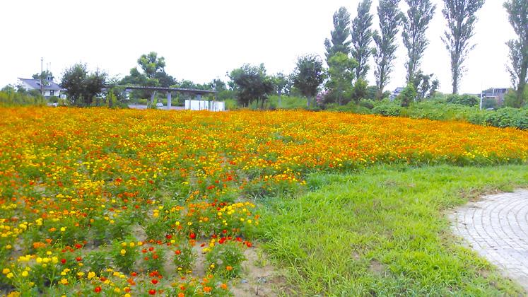 コスモス 和田公園②