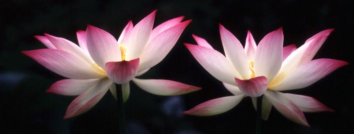 hasu-001はすの花